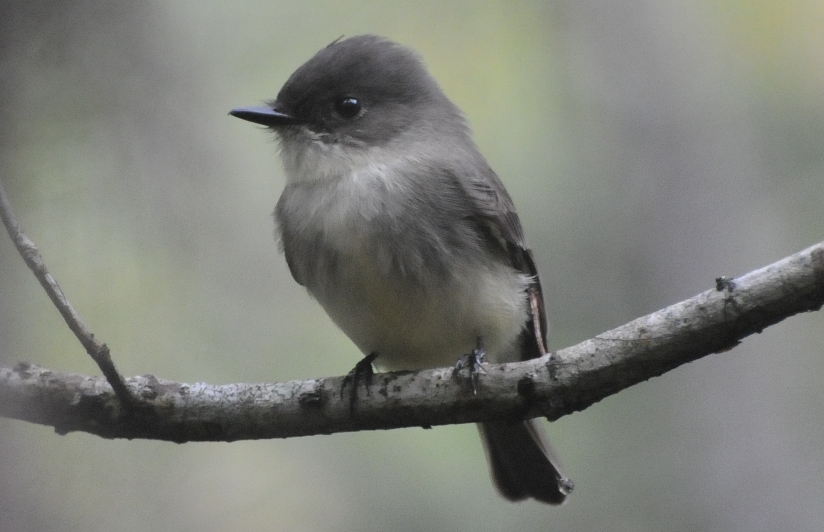 Image result for gray bird