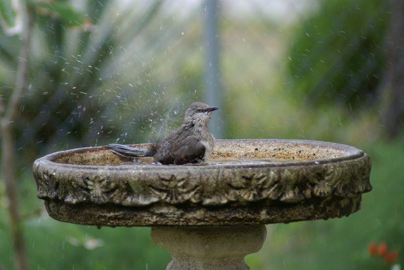Bird in bath