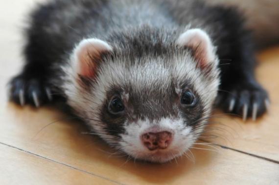Lethargic-ferret